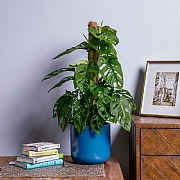 Monstera Monkey Leaf Swiss Cheese Plant (Monstera obliqua)