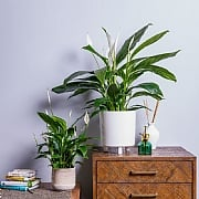 Peace Lily (Spathiphyllum) - Various Sizes