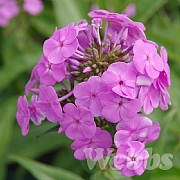Phlox 'Fashionably Early Flamingo'