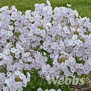Phlox 'Fashionably Early Lavender Ice'