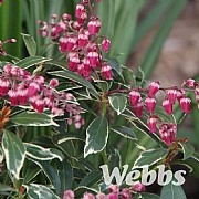 Pieris japonica 'Polar Passion'