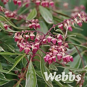 Pieris japonica 'Ralto Rose'