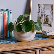 Chinese Money Plant (Pilea peperomoides)