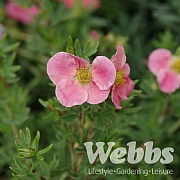 Potentilla fruticosa 'Danny Boy'