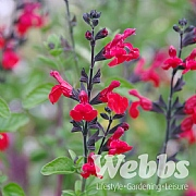 Salvia greggii 'Royal Bumble'