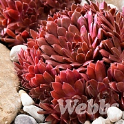 Sempervivum arachnoideum 'Corel Red'
