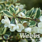 Luma apiculata Glanleam Gold