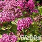 Spiraea 'Magic Carpet'