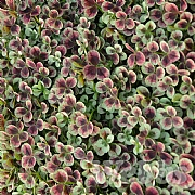 Trifolium 'Angel Clover Chocolate'